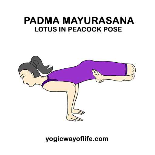 Padma mayurasana - Lotus in Peacock Pose